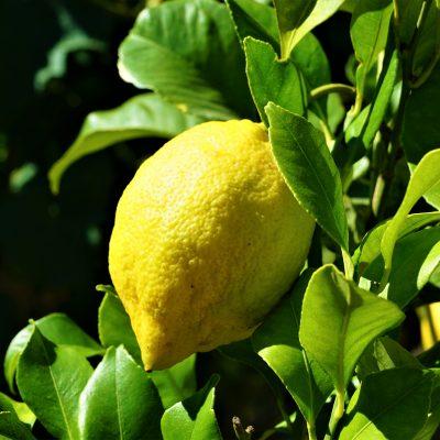 Lisbon Lemon 19cm