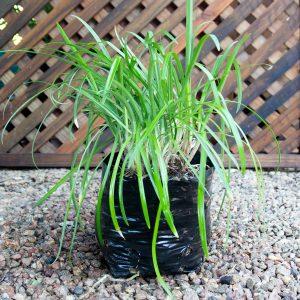 Agapanthus Nile lily 4L