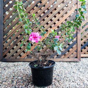 Azalea Encore 17cm