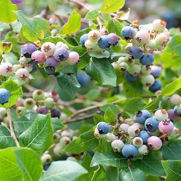 70054499 - blueberry legacy