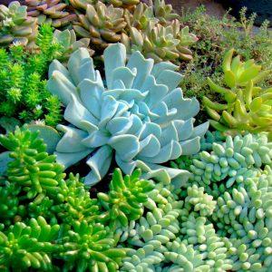 Succulent Varieties 15cm
