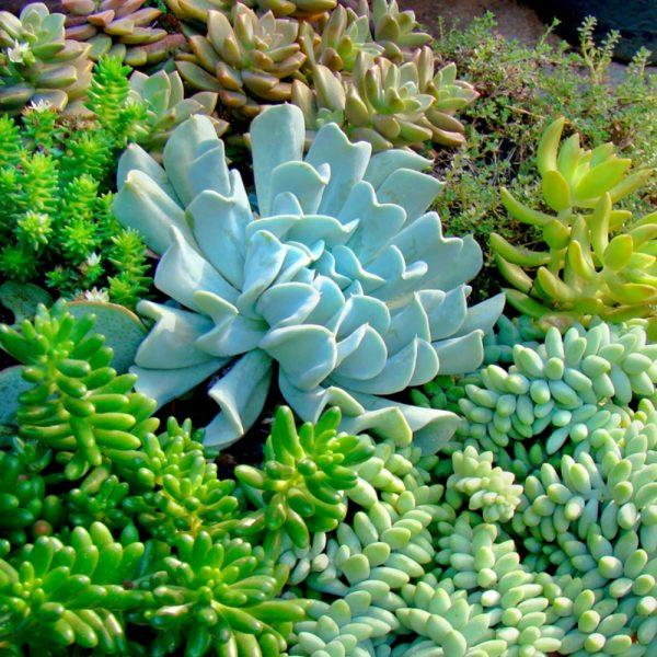 70006770 - succulent varieties