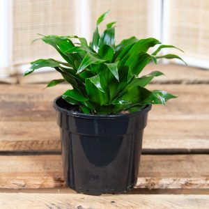 Dragon Tree – Dracaena fragrans compacta 15cm