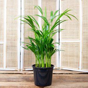 Bamboo Palm 19cm