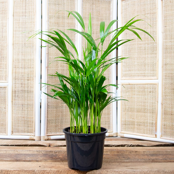 10003470 - Bamboo Palm 19cm