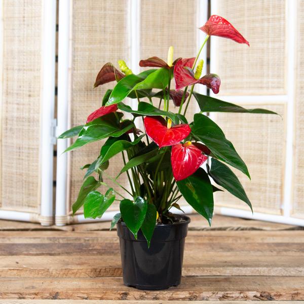 70050562 - Flamingo plant 14cm