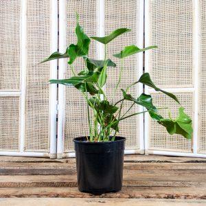Flamingo Plant – Anthirium x hybrid 20cm