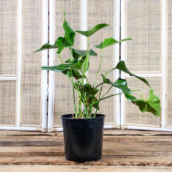 92002517 - Flamingo Plant - Anthirium x hybrid 20cm