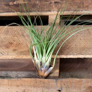 Giant Air Plant – Tillandsia fasciculata