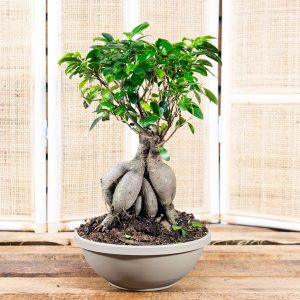 Bonsai – Ficus ginseng in Solar dish