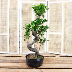 Bonsai – Ficus ginseng in plastic pot