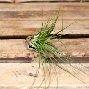 Giant Air Plant – Tillandsia fasciculata