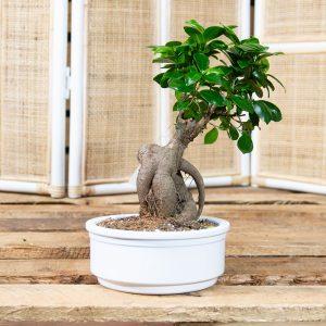 Bonsai – Ficus ginseng