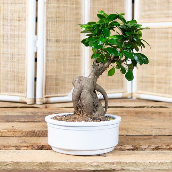 Bonsai – Ficus ginseng 1