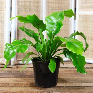 Bird's-Nest Fern – Asplenium nidus 15cm pot