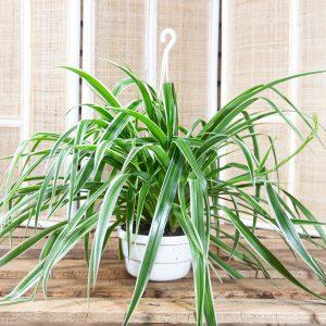 Spider Plant – Chlorophytum comosum 'Virgatum' HB