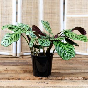 Calathea – Prayer Plant