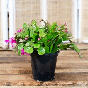 Zygo Cactus – Schlumbergera 14cm pot