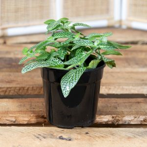 Nerve Plant – Frittonia albivenis 12cm pot
