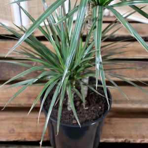 Dragon Tree – Dracaena tri-colour 17cm pot