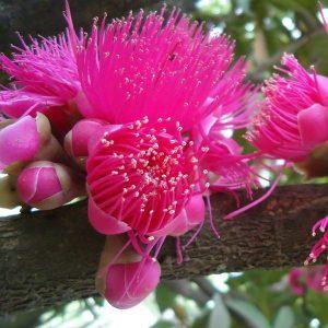 Syzygium 2L Bush