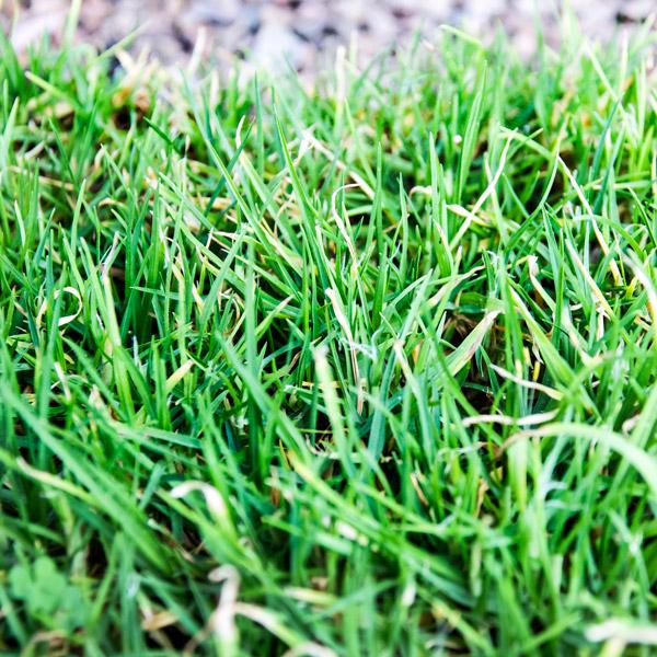 70033763 - Berea grass foliage 30 pack (4)