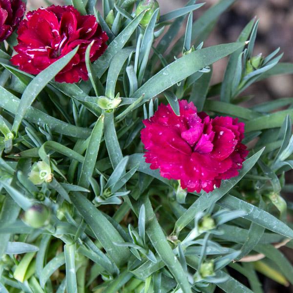 70051538 - Carnation varieties 15cm pot (2)