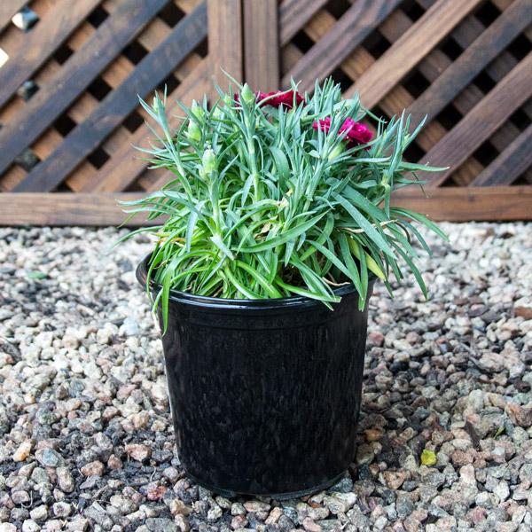 70051538 - Carnation varieties 15cm pot