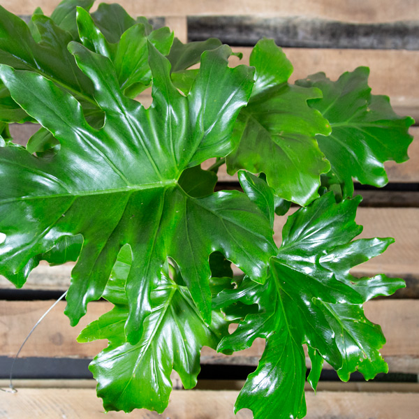 70062451 - Split Leaf Philodendron in Moss Ball 14cm (3)