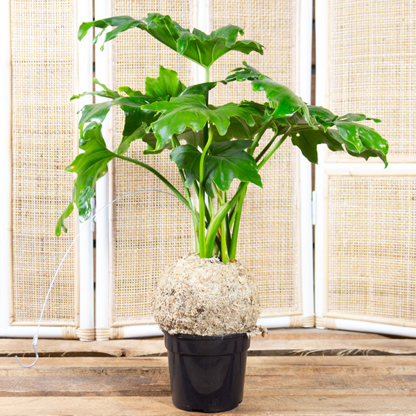 70062451 - Split Leaf Philodendron in Moss Ball 14cm