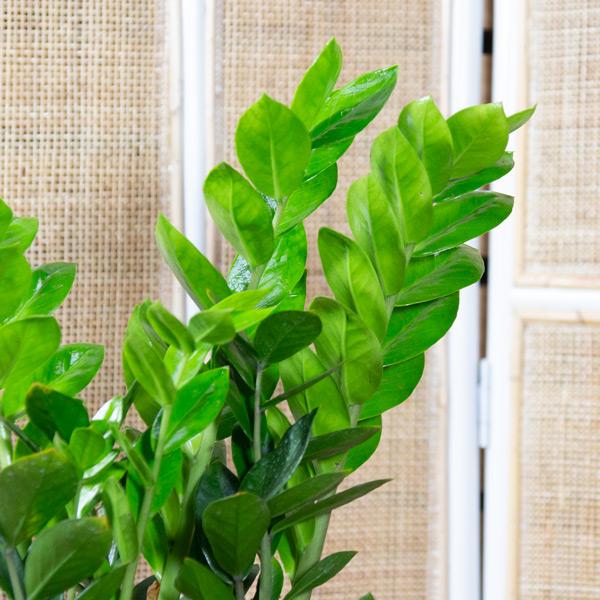 70062452 - Zamioculcas zamiifolia - ZZ Plant 14cm (2)