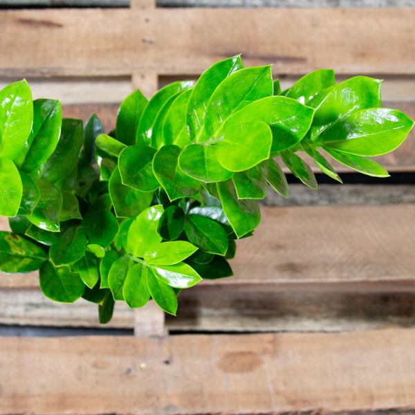70062452 - Zamioculcas zamiifolia - ZZ Plant 14cm (3)