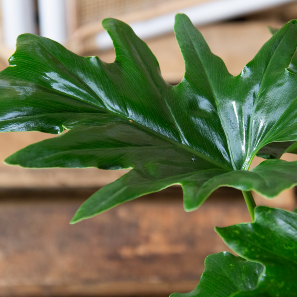 70062455 - Split Leaf Philodendron 15cm (2)