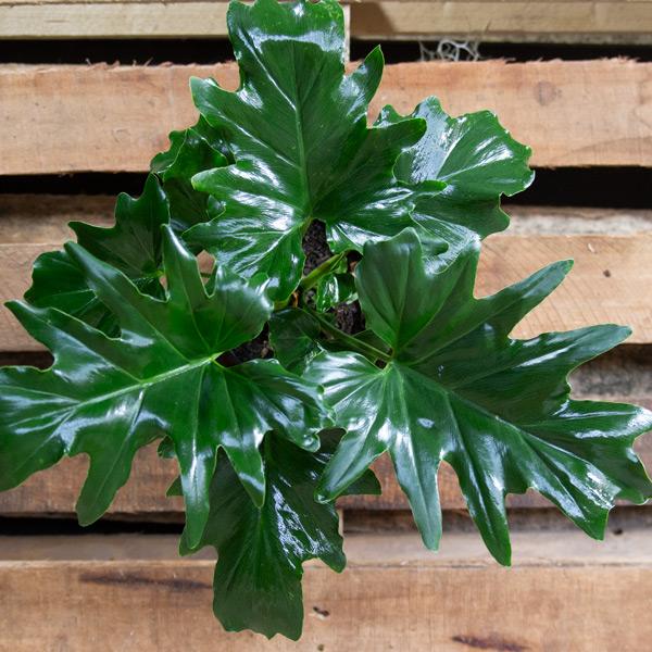 70062455 - Split Leaf Philodendron 15cm (3)