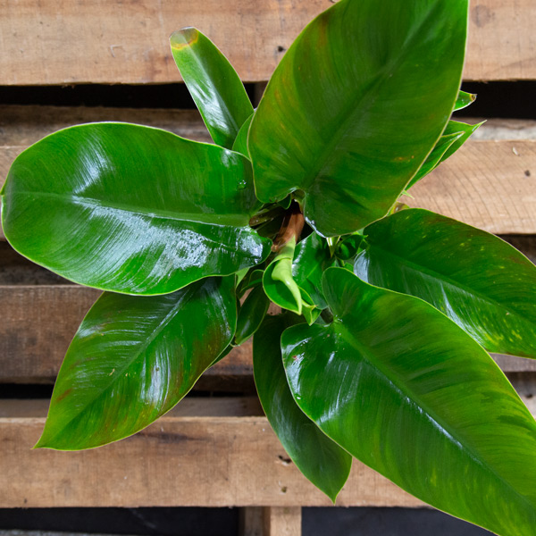 70062456 - Upright Philodendron 15cm (2)