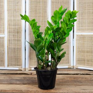 Zamioculcas zamiifolia – ZZ Plant 14cm