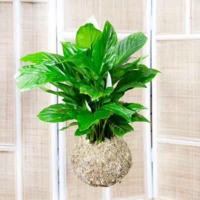 Spathiphyllum wallisii – Peace Lily in Moss Ball Hanging 14cm