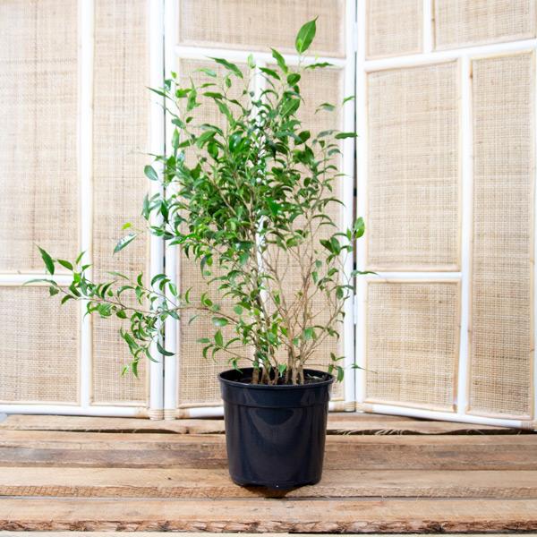 70038161 - Ficus benjamina