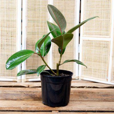 Ficus robusta  – Rubber Plant 19cm