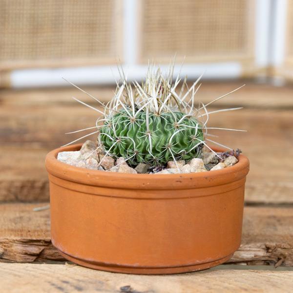 70056216 Succulent in Terra-cotta Pot