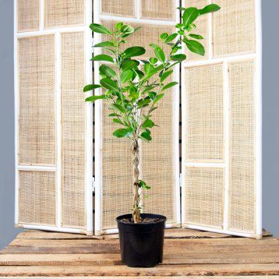 Wild Fig – Ficus microcarpa 16cm