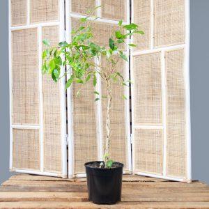 Ficus benjamina – Weeping Fig 15 cm
