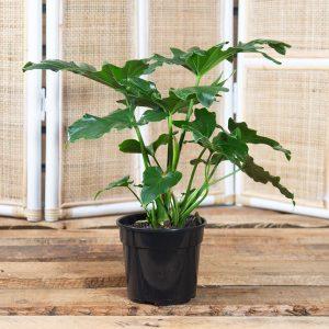 Split Leaf Philodendron 15cm