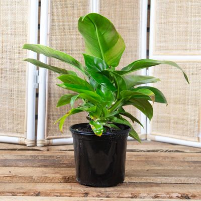 Philodendron melinonii – Upright Philodendron 15cm