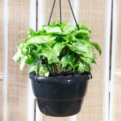 Syngonium podophyllum – Goose foot plant in Hanging Basket 20cm