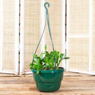 Schlumbergera truncata – Zygo Cactus in Hanging Basket 20cm