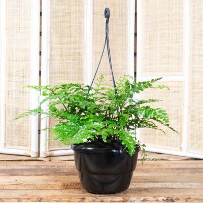 Asplenium bulbiferum – Mother Fern in hanging Basket 20cm