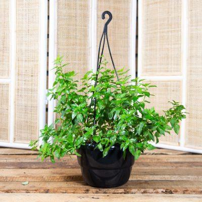 Fuchsia x hybrida – Fuchsia in Hanging Basket 20cm