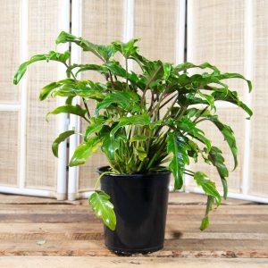 Philodendron bipinnatifidum – Winterbourne 17cm