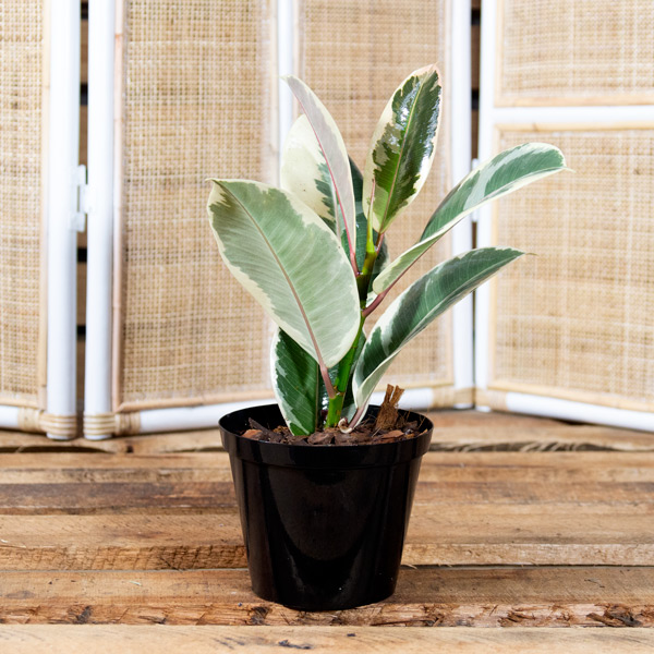 Ficus robusta - Variegated Rubber Plant 1